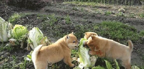 快来吃啊,白菜味道不错!