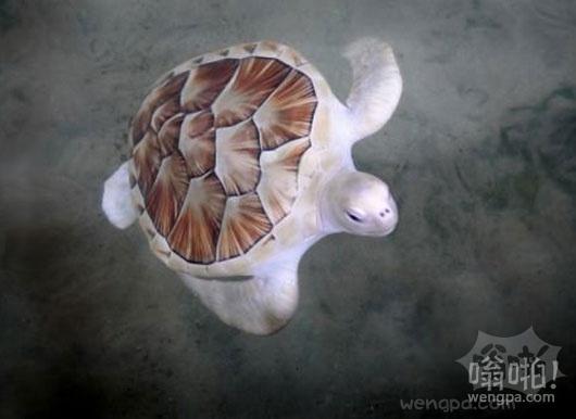 世界上唯一的白色海龟
