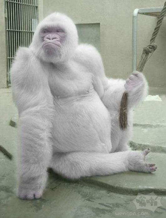 白化大猩猩