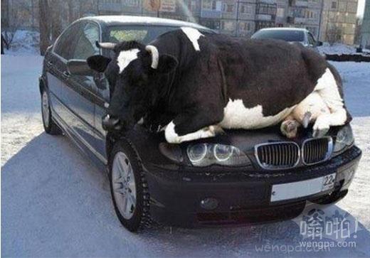 寒冷的季节开始,奶牛寻求热车罩