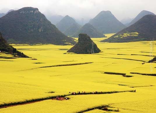 在中国罗平,壮观的花的海洋