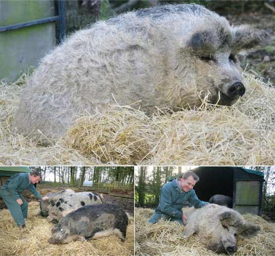 """奇怪的看着以为是""""羊"""",实际上是毛茸茸的猪"""
