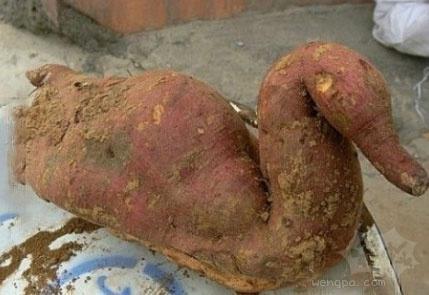 这个红薯的麻麻和鸭子发生了什么?