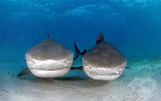鲨鱼牵手?