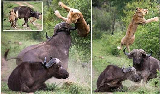 布法罗战士!公牛所救它的朋友… 这是送狮子在空中飞行
