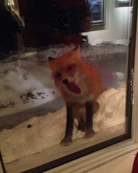 狐狸遇到了窗户中的一个问题