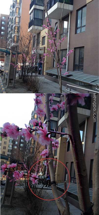 【嗡啪原创】刚回来一进小区发现小区桃花怒放盛开,心想现在是入冬怎么会有桃花?凑近一看,哈哈,中国特色