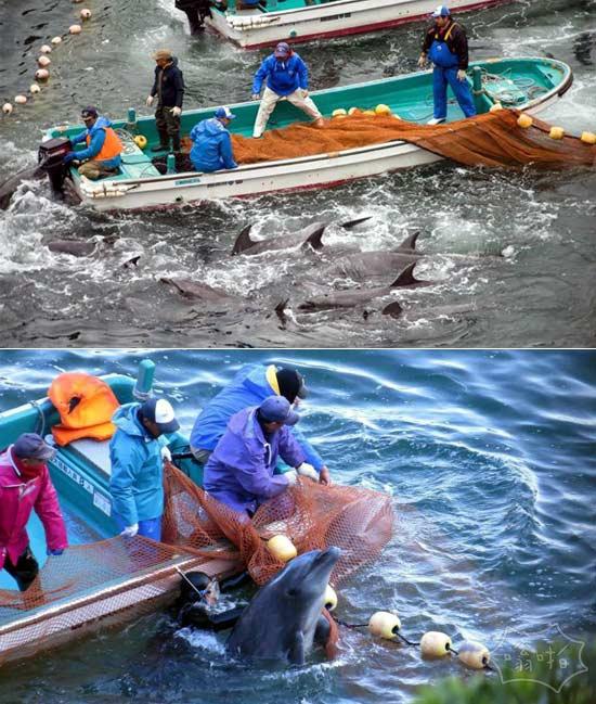 """美驻日大使批日本捕杀海豚 """"海豚湾""""屠杀再次上演"""