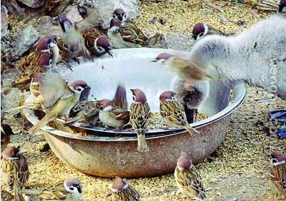 天鹅口粮被麻雀抢食 饲养员:因吃东西姿势太优雅