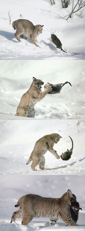美国麝鼠勇敢迎战山猫战死沙场