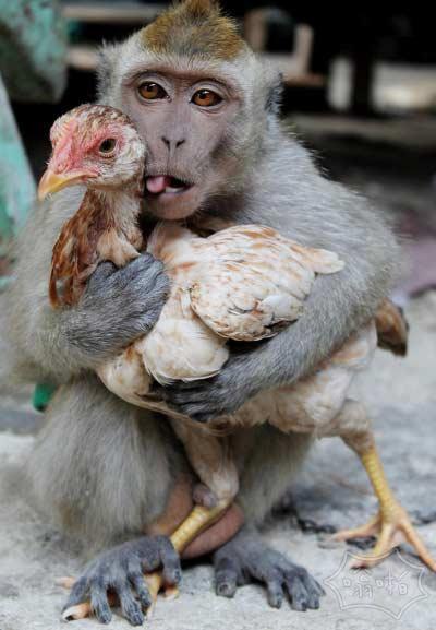 """印尼上演""""猴鸡恋"""""""