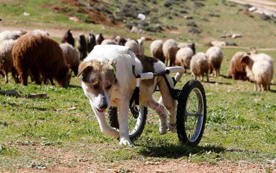 Abayed,这里特色的狗,去年被枪杀并立即瘫痪。现在,牧羊犬运动轮步行辅助器,让它不必失去自己的户外活动时间。