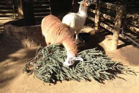 当地人给动物园捐赠了圣诞树,看样子羊驼很喜欢
