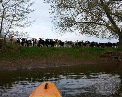 划船的时候碰到的一些奇怪的奶牛