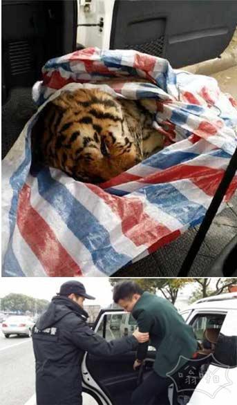 温州警方在越野车上意外查获一只老虎(图)