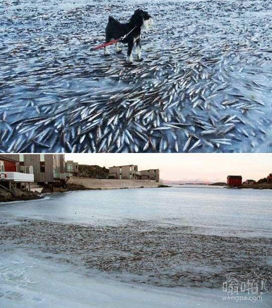 挪威鱼群被冻凝固冰层内 仍保持游动姿态