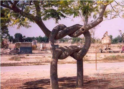 被园艺师折磨以后的树 依然笑看春风 活得很灿烂!