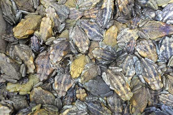 甘蔗蟾蜍–猛一看以为是一堆石头