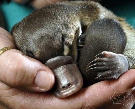 鸭嘴兽和针鼹是唯一的哺乳动物,可以使自己的蛋羹:他们都产卵和生产牛奶。