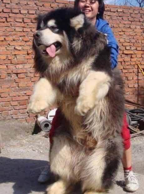 我最喜欢的狗-高加索犬