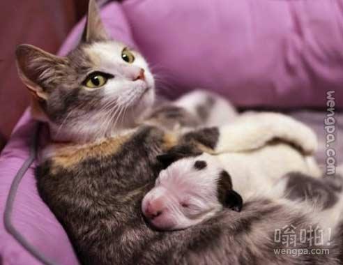 猫妈妈护理一个星期岁斗牛犬,他离开后,孤儿在一个动物庇护所