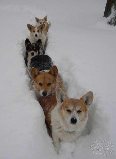 5威尔士矮脚狗也能跋涉在雪地