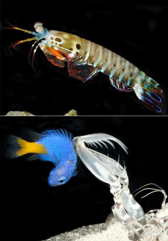 不要被他们的小胳膊愚弄了:螳螂虾可能冲你以每小时80公里的速度
