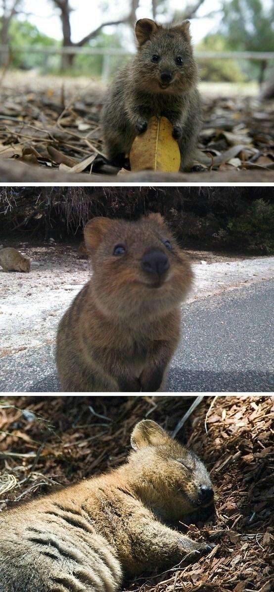 在短尾矮袋鼠,世界上最幸福的动物的生活每一天