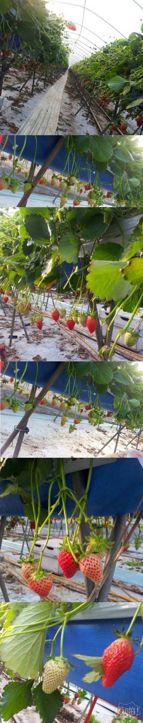 带你长知识,韩国这样种草莓。