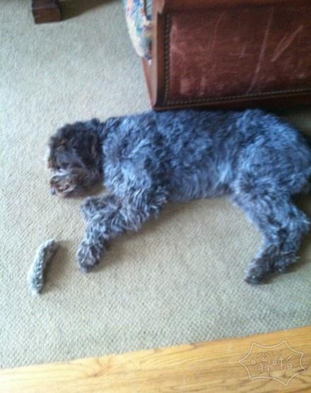 蠢狗以为自己的尾巴掉了…就这样伤心了一个下午…(¯ω ¯٥)