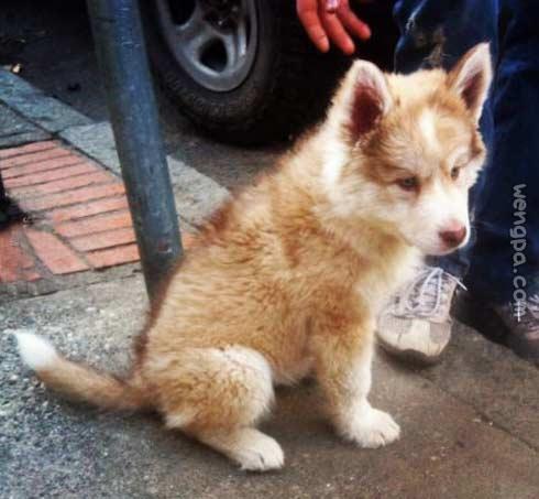 3/4的狼,1/4的雪橇犬。10周龄。