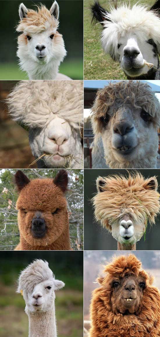 大多数人都听过的羊驼。他们不知道的是,羊驼拥有整个动物世界最迷人的发型。