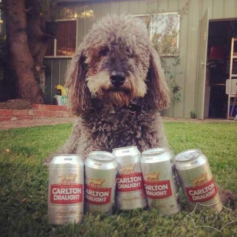 你的狗有这么能喝吗