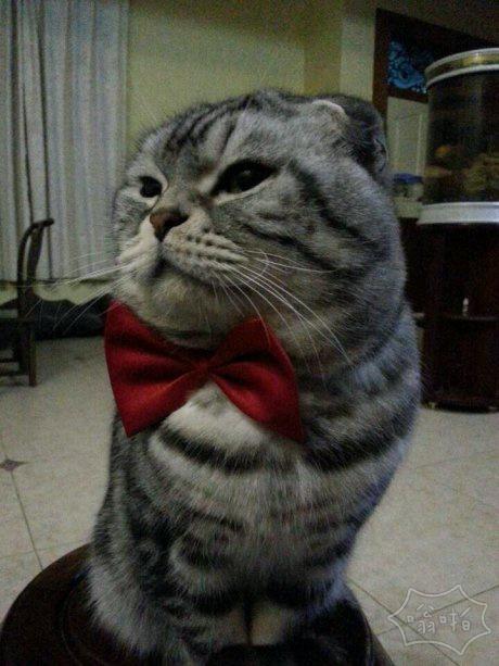 """过年了 猫猫被""""强制""""打扮成招财猫"""