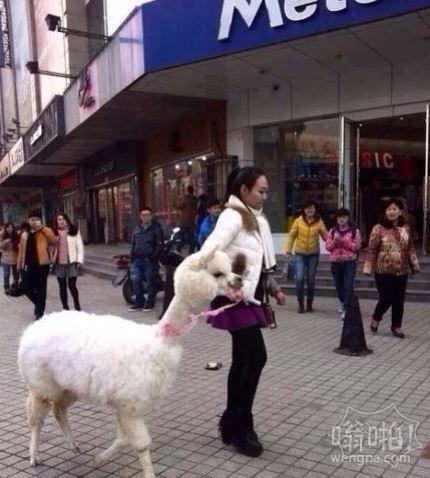 霸气!美女新乡街头遛羊驼