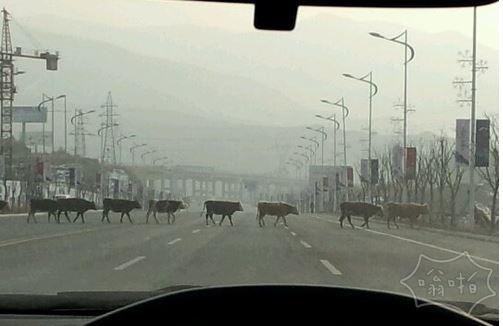 这牛过马路还挨个儿排队呢