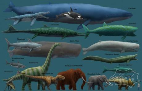 蓝鲸不但是最大的动物目前还活着,但很可能以往任何时候都生活过的最大的动物