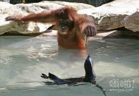 猩猩喂企鹅鱼吃