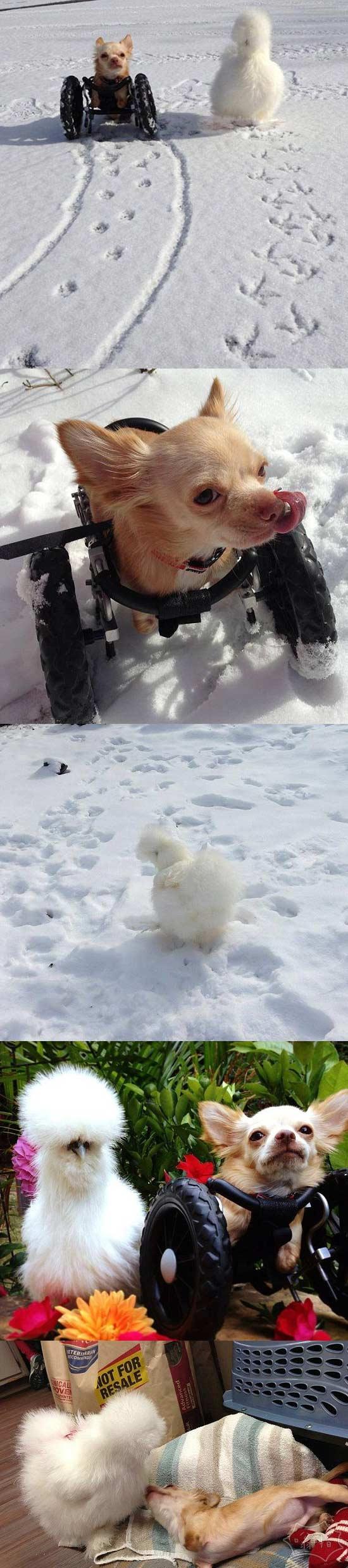 死党:乌鸡和两条腿小狗的快乐生活