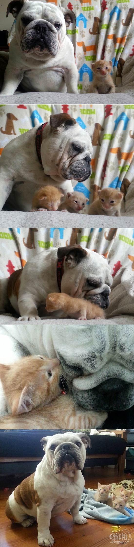 斗牛犬与他照顾的小猫
