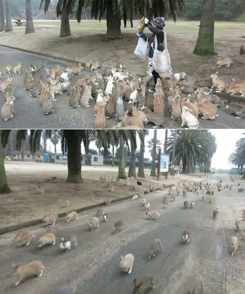 事情看起来有点棘手!女人逃出遍地是兔子的日本的兔岛(视频)