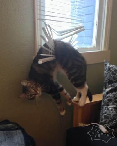 二货猫跳窗后