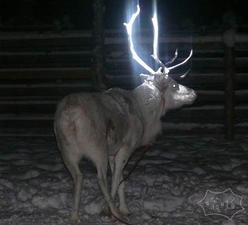 """芬兰驯鹿牧民喷驯鹿""""鹿角与荧光涂料,以防止车祸"""