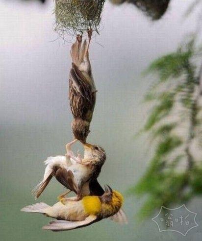 小鸟从鸟巢跌落,爸爸妈妈试图救他的那一刻