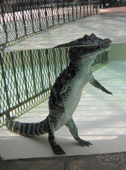 原来水中的鳄鱼是这样的