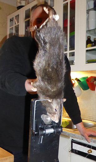 瑞典15寸大老鼠引恐慌,咬开家里的混凝土墙进入厨房