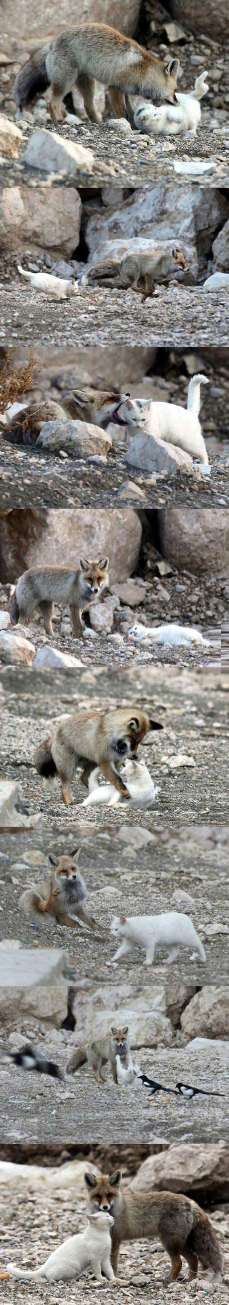 狐狸和猫的故事