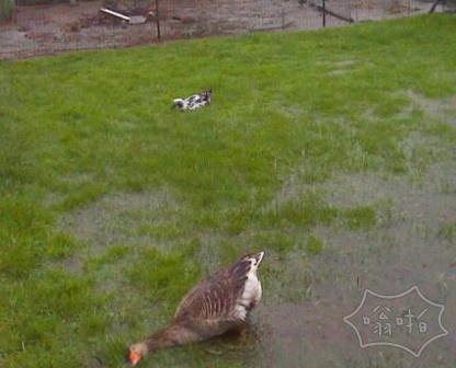 一场暴雨后,我妹妹的鹅。单纯的幸福。