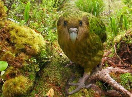 满足鸮鹦鹉,一个可爱的,像狗一样的鸟,新西兰人都在拼命挽救这个濒临灭绝的物种