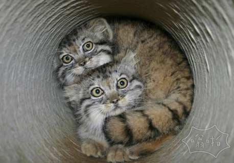 发现两只猫不小心掉进管道里